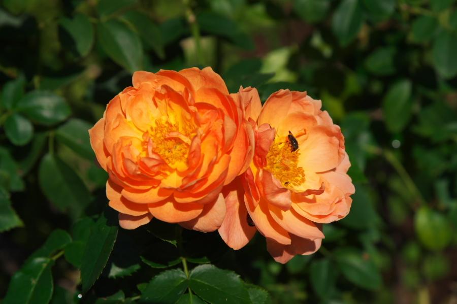 館林 東武トレジャーガーデンの秋薔薇1_a0263109_19325888.jpg