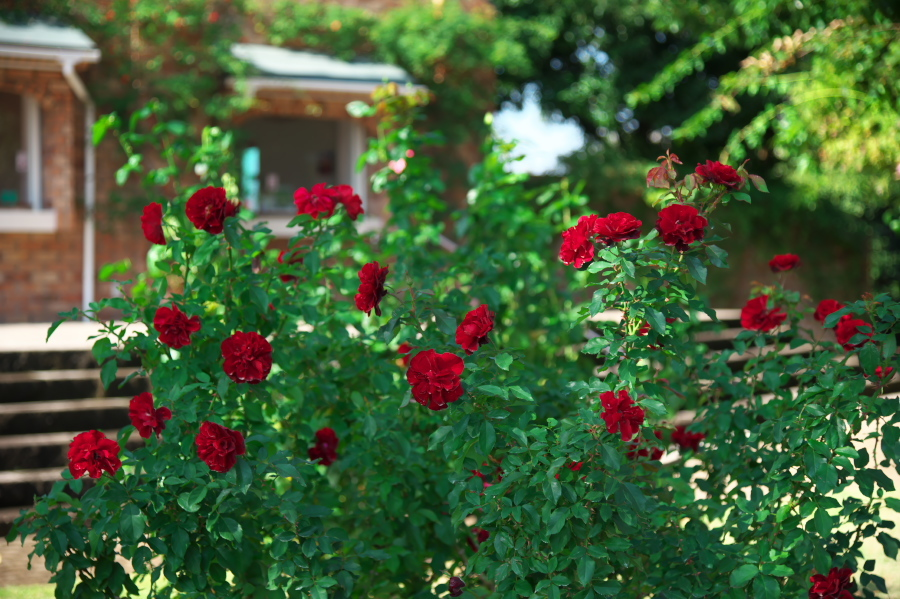館林 東武トレジャーガーデンの秋薔薇1_a0263109_19325915.jpg