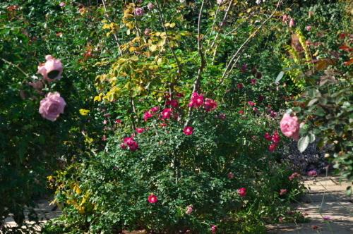 館林 東武トレジャーガーデンの秋薔薇1_a0263109_19332331.jpg