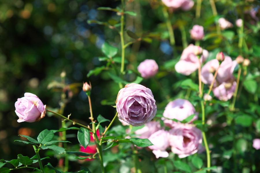 館林 東武トレジャーガーデンの秋薔薇1_a0263109_19332447.jpg