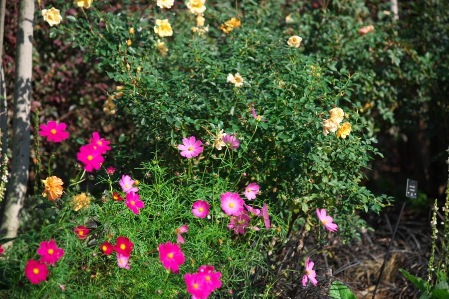 館林 東武トレジャーガーデンの秋薔薇1_a0263109_19332486.jpg