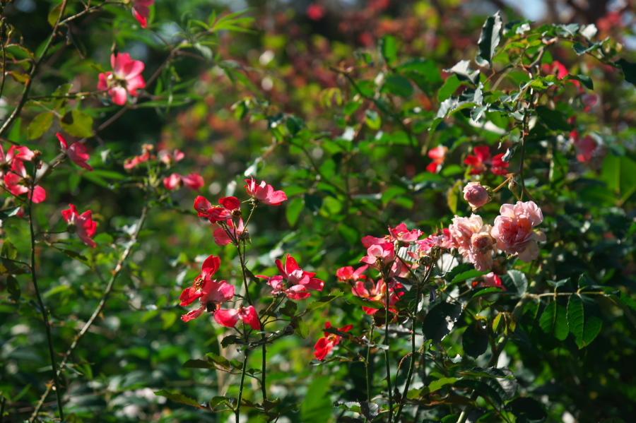 館林 東武トレジャーガーデンの秋薔薇1_a0263109_19334807.jpg