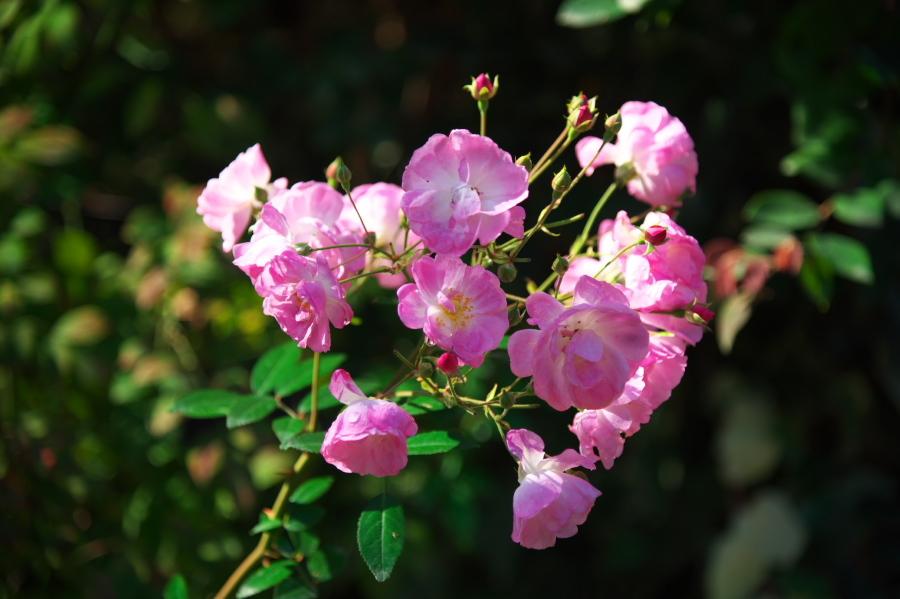 館林 東武トレジャーガーデンの秋薔薇1_a0263109_19334866.jpg