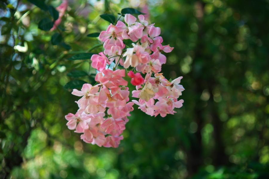 館林 東武トレジャーガーデンの秋薔薇1_a0263109_19334877.jpg