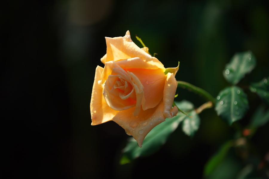 館林 東武トレジャーガーデンの秋薔薇3_a0263109_19393526.jpg