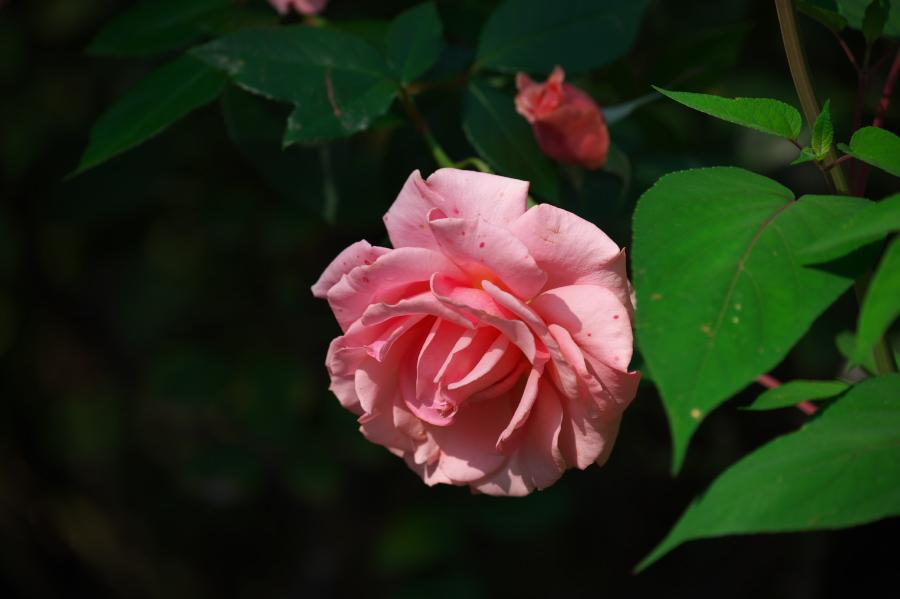 館林 東武トレジャーガーデンの秋薔薇3_a0263109_19393539.jpg