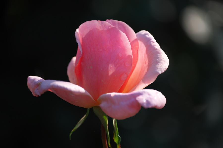 館林 東武トレジャーガーデンの秋薔薇3_a0263109_19393598.jpg