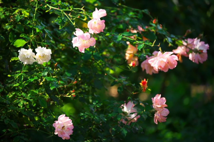 館林 東武トレジャーガーデンの秋薔薇3_a0263109_19393612.jpg