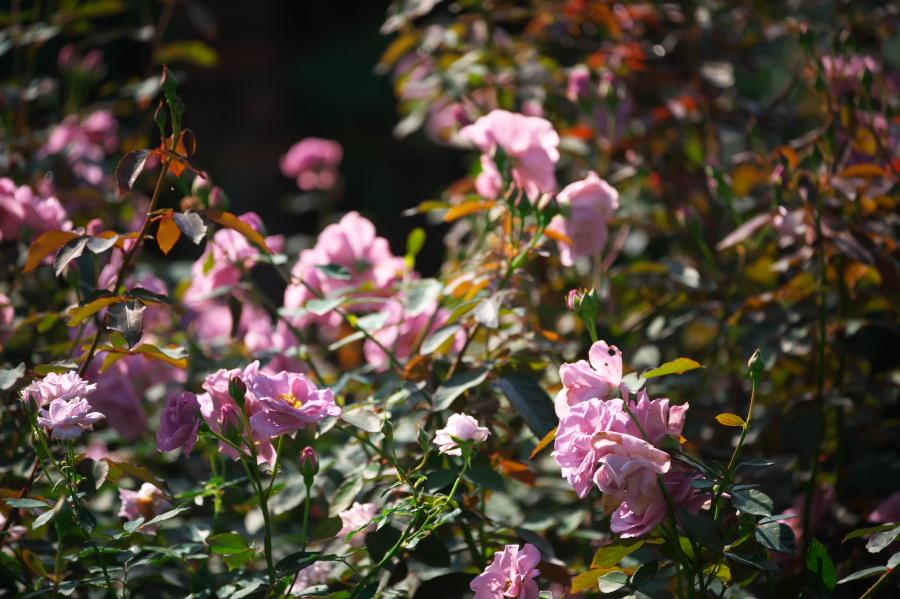 館林 東武トレジャーガーデンの秋薔薇3_a0263109_19393678.jpg