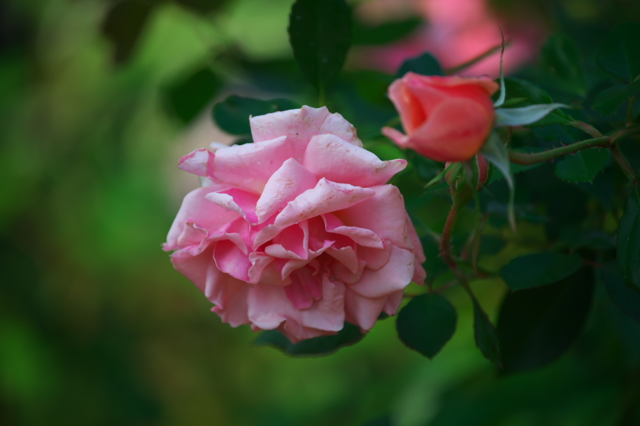 館林 東武トレジャーガーデンの秋薔薇3_a0263109_19401944.jpg