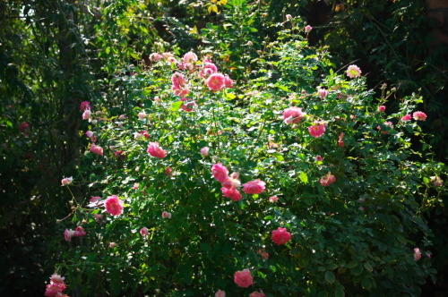 館林 東武トレジャーガーデンの秋薔薇3_a0263109_19403801.jpg
