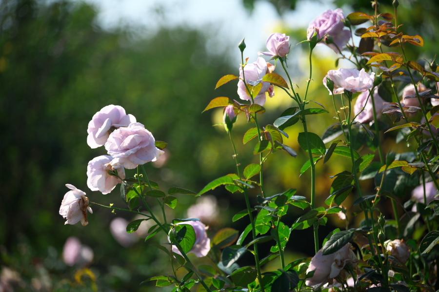 館林 東武トレジャーガーデンの秋薔薇3_a0263109_19403922.jpg