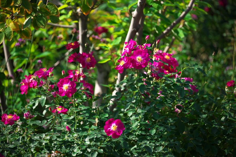 館林 東武トレジャーガーデンの秋薔薇3_a0263109_19403951.jpg
