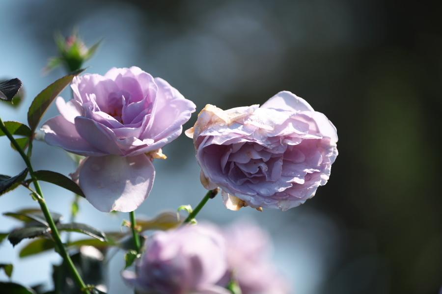 館林 東武トレジャーガーデンの秋薔薇3_a0263109_19403981.jpg