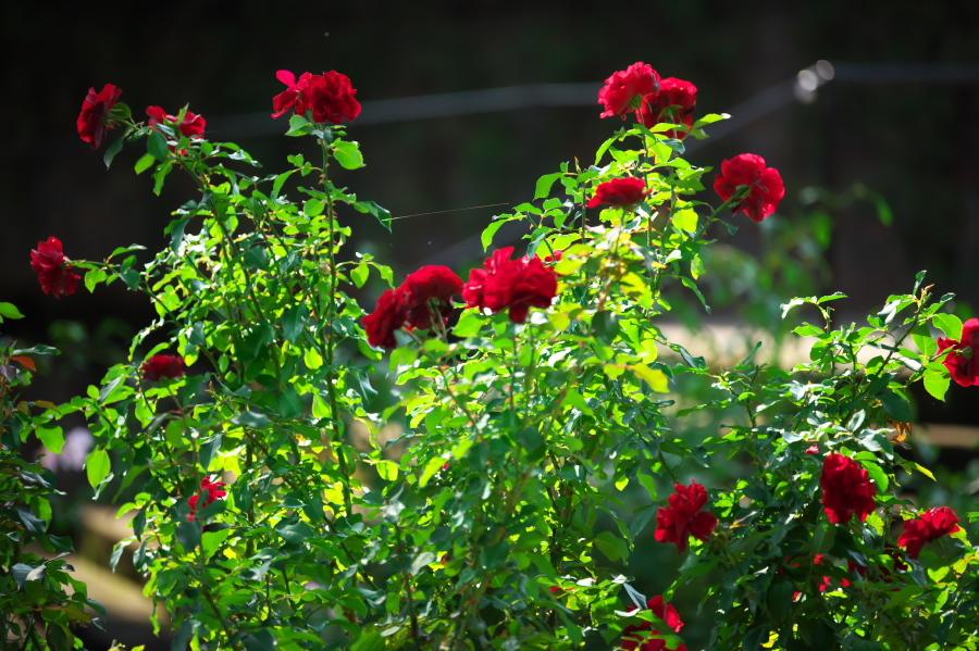 館林 東武トレジャーガーデンの秋薔薇3_a0263109_19410315.jpg