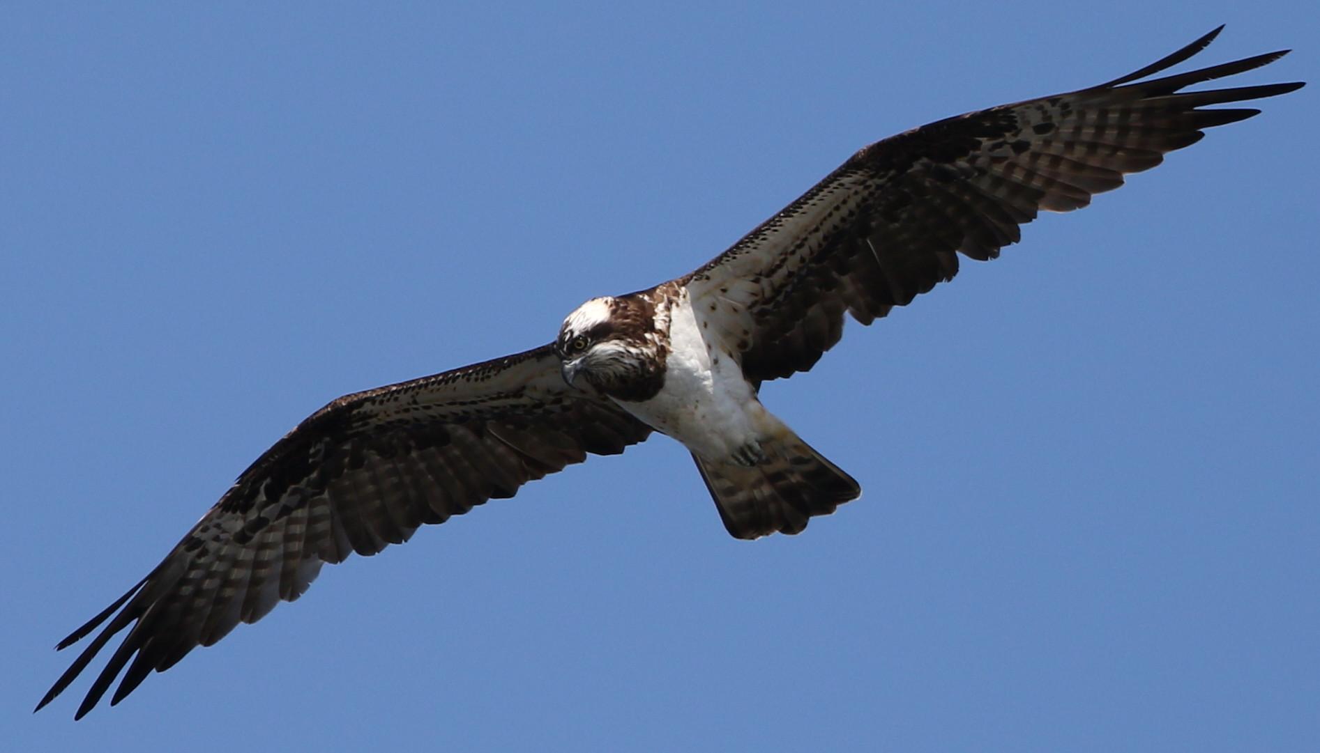 MFの沼でのミサゴ その23 (飛翔)_f0239515_1834668.jpg