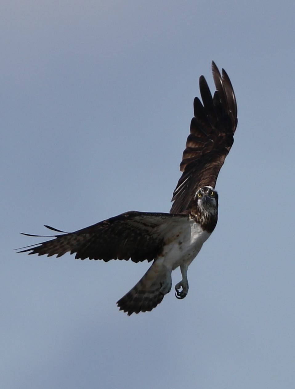 MFの沼でのミサゴ その23 (飛翔)_f0239515_18353613.jpg