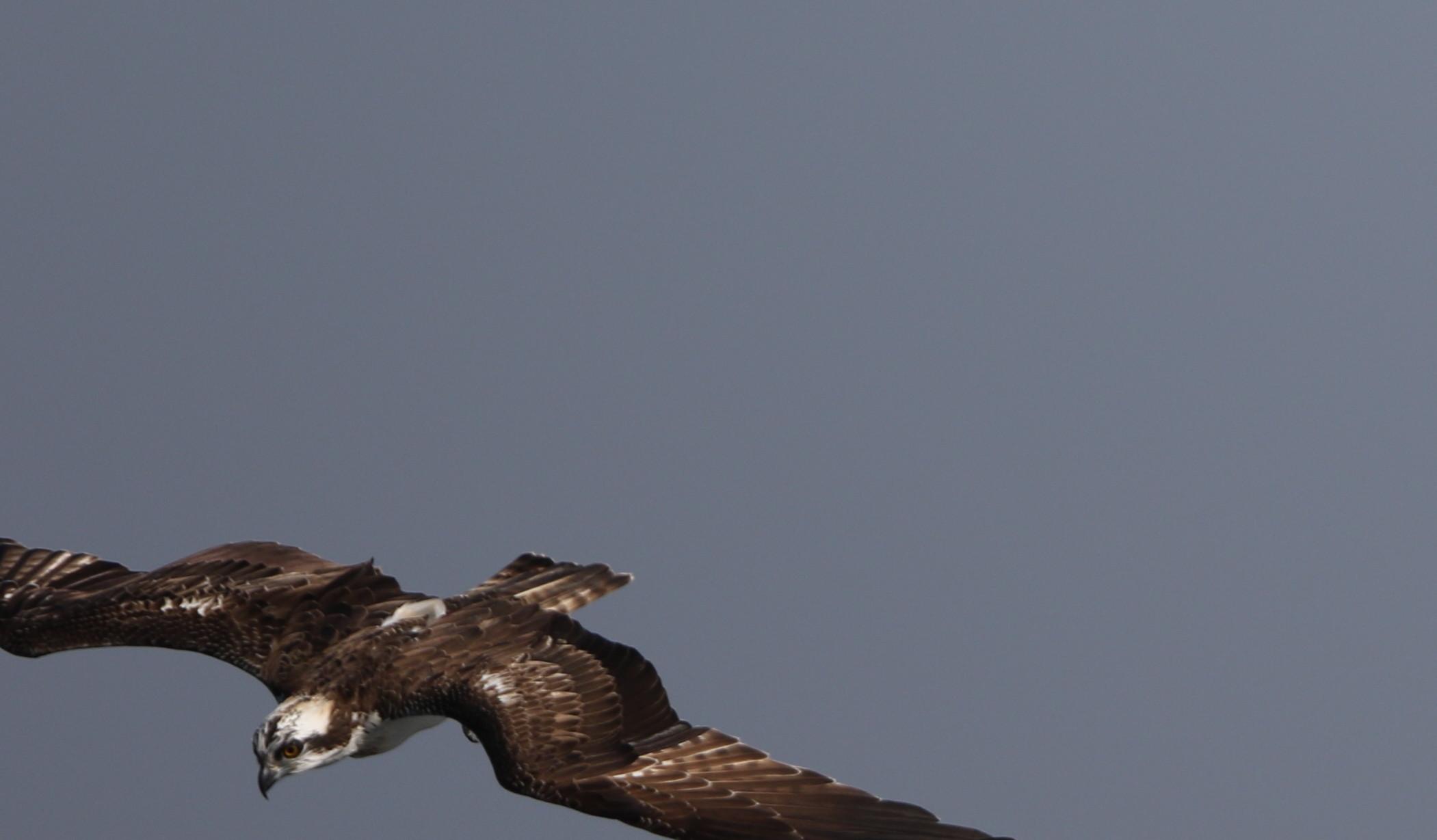 MFの沼でのミサゴ その23 (飛翔)_f0239515_18365025.jpg