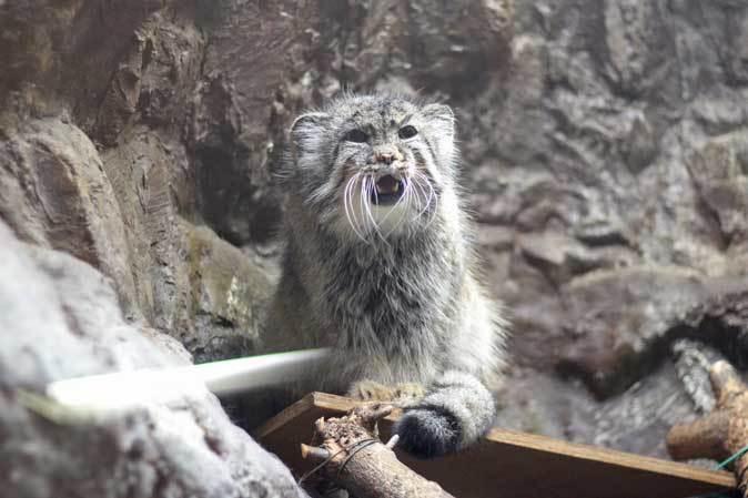 上野動物園:小獣館より~マヌルネコ「ユス」百面相とスラウェシメガネザル_b0355317_22092439.jpg