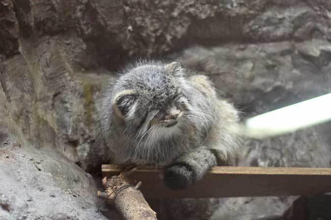 上野動物園:小獣館より~マヌルネコ「ユス」百面相とスラウェシメガネザル_b0355317_22095378.jpg