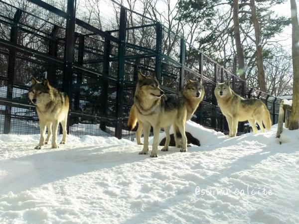 シンリンオオカミ「ショウ」鹿児島市平川動物公園へ_d0154140_20123667.jpg