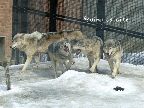シンリンオオカミ「ショウ」鹿児島市平川動物公園へ_d0154140_20135117.jpg