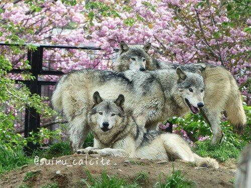 シンリンオオカミ「ショウ」鹿児島市平川動物公園へ_d0154140_20141350.jpg