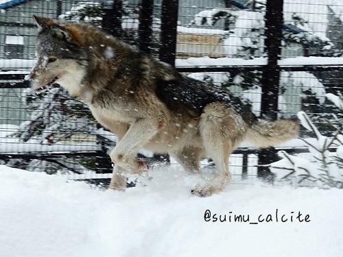 シンリンオオカミ「ショウ」鹿児島市平川動物公園へ_d0154140_20181939.jpg