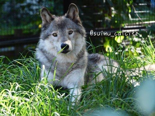シンリンオオカミ「ショウ」鹿児島市平川動物公園へ_d0154140_20195436.jpg