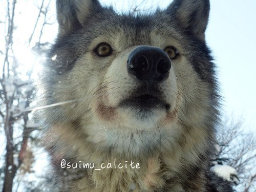 シンリンオオカミ「ショウ」鹿児島市平川動物公園へ_d0154140_20243428.jpg