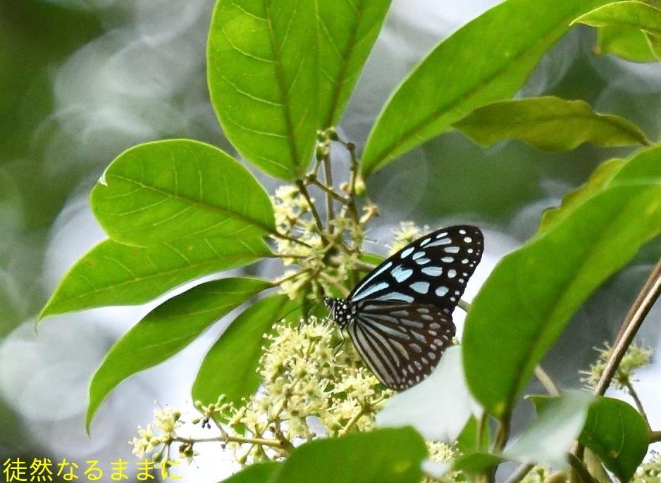 沖縄の蝶たち_d0285540_21172706.jpg