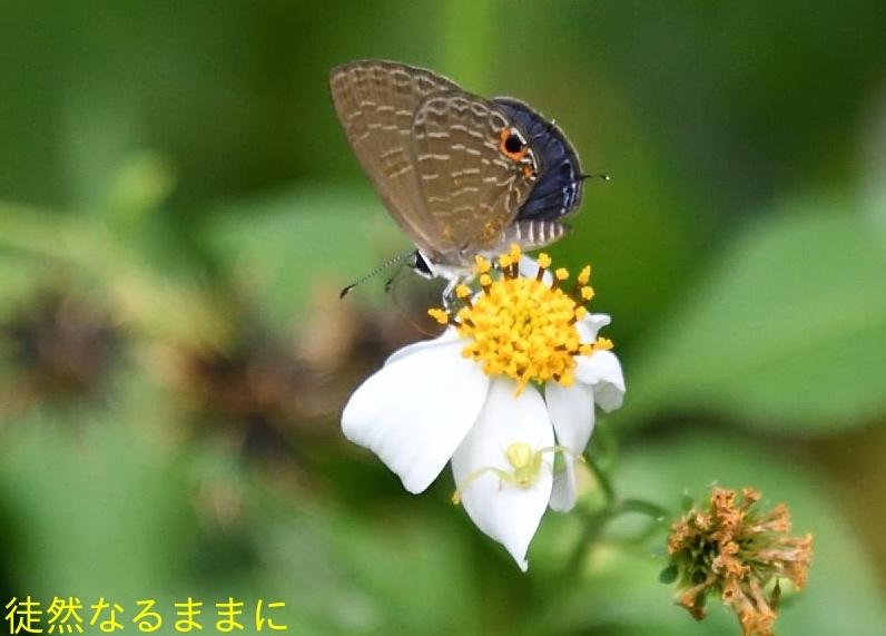 沖縄の蝶たち_d0285540_21172953.jpg