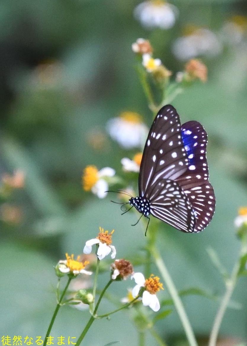 沖縄の蝶たち_d0285540_21173126.jpg