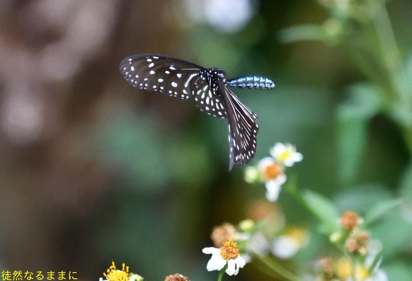 沖縄の蝶たち_d0285540_21173753.jpg