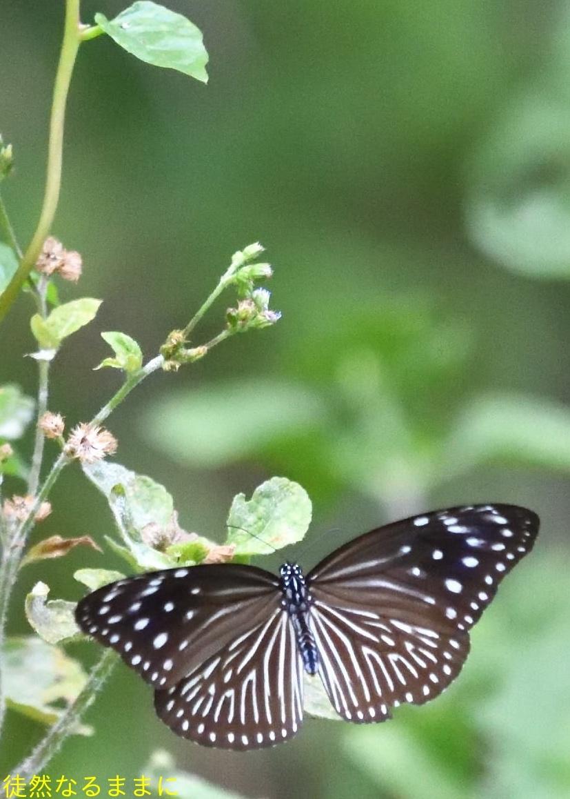 沖縄の蝶たち_d0285540_21173973.jpg