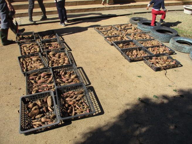 芋掘り 2019 〜収穫量は…〜_f0334882_18371724.jpg