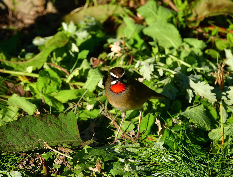 旅鳥:ノゴマ_e0362696_17152934.jpg