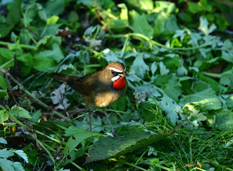 旅鳥:ノゴマ_e0362696_17153533.jpg