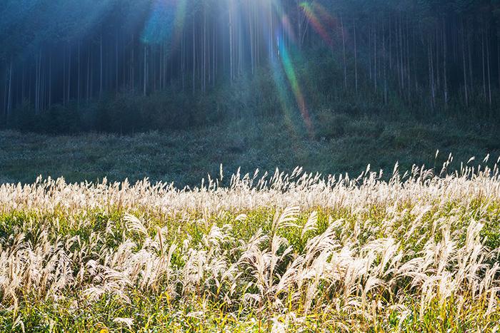 今箱根仙石原のすすきは見頃です_b0145398_15533970.jpg