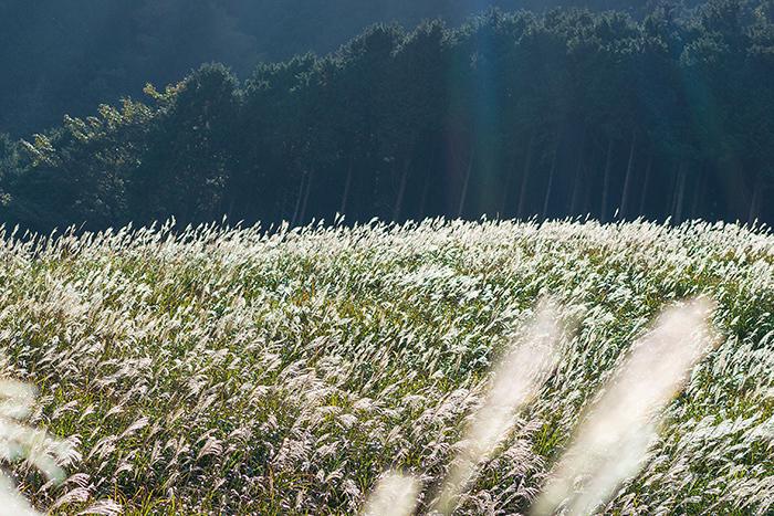 今箱根仙石原のすすきは見頃です_b0145398_16045501.jpg