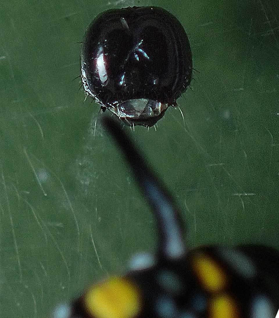 アサギマダラ幼虫のヘッドカプセル_e0253104_21201228.jpg