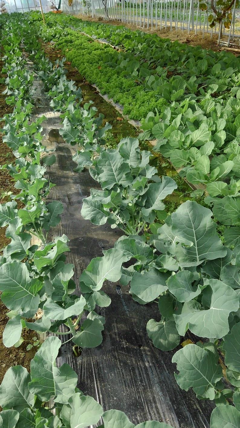 ハウスへ、冬野菜の定植中_d0026905_09342106.jpg