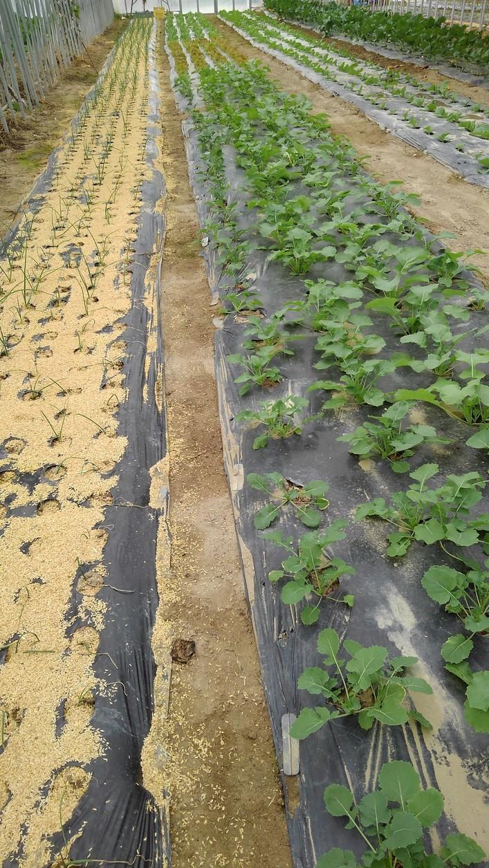 ハウスへ、冬野菜の定植中_d0026905_09342146.jpg