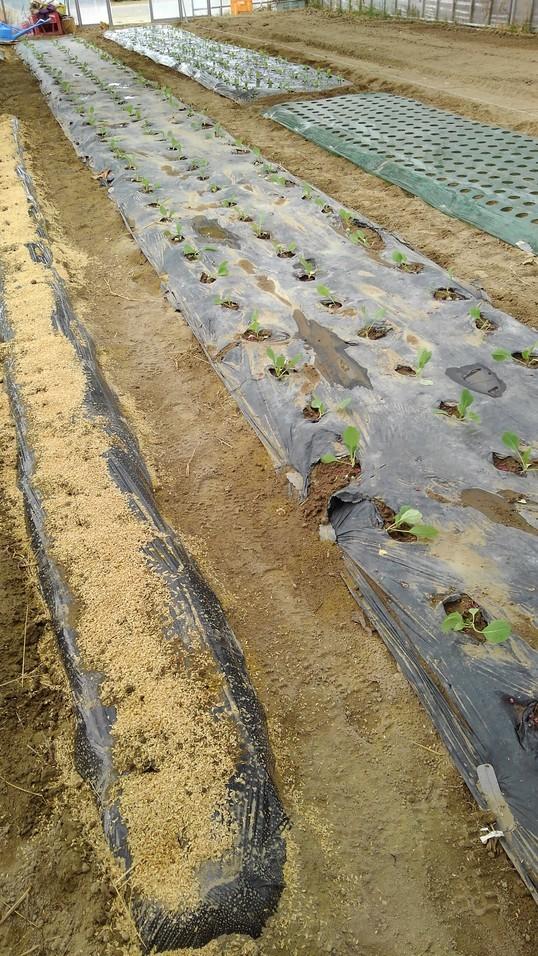 ハウスへ、冬野菜の定植中_d0026905_09342166.jpg