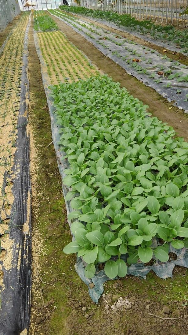 ハウスへ、冬野菜の定植中_d0026905_09342170.jpg