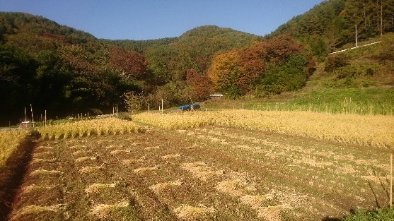 自然農田の稲刈り_e0015223_15552082.jpg