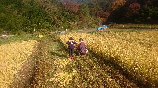 自然農田の稲刈り_e0015223_15554617.jpg