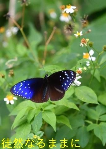 沖縄の蝶たち_d0285540_06135257.jpg