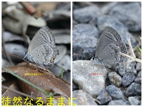 沖縄本島のクロマダラソテツシジミ_d0285540_06474683.jpg