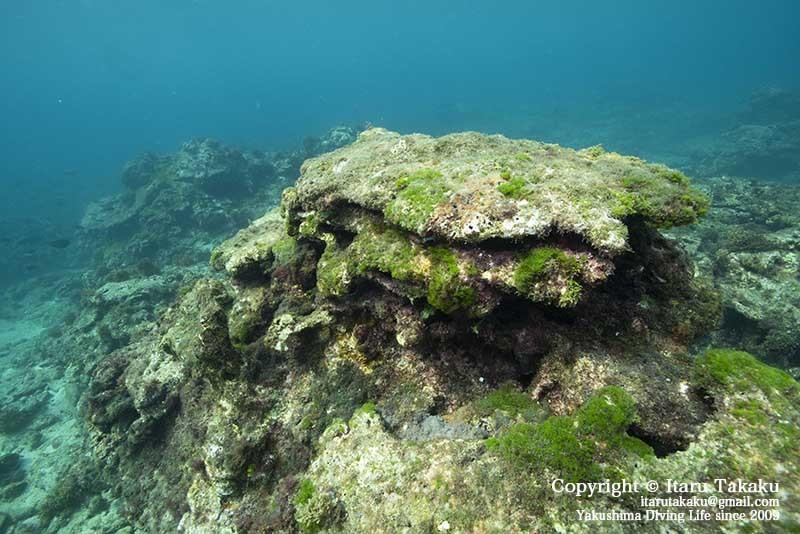 種子島・サンゴ調査〜10年間のサンゴの変遷〜_b0186442_18471384.jpg
